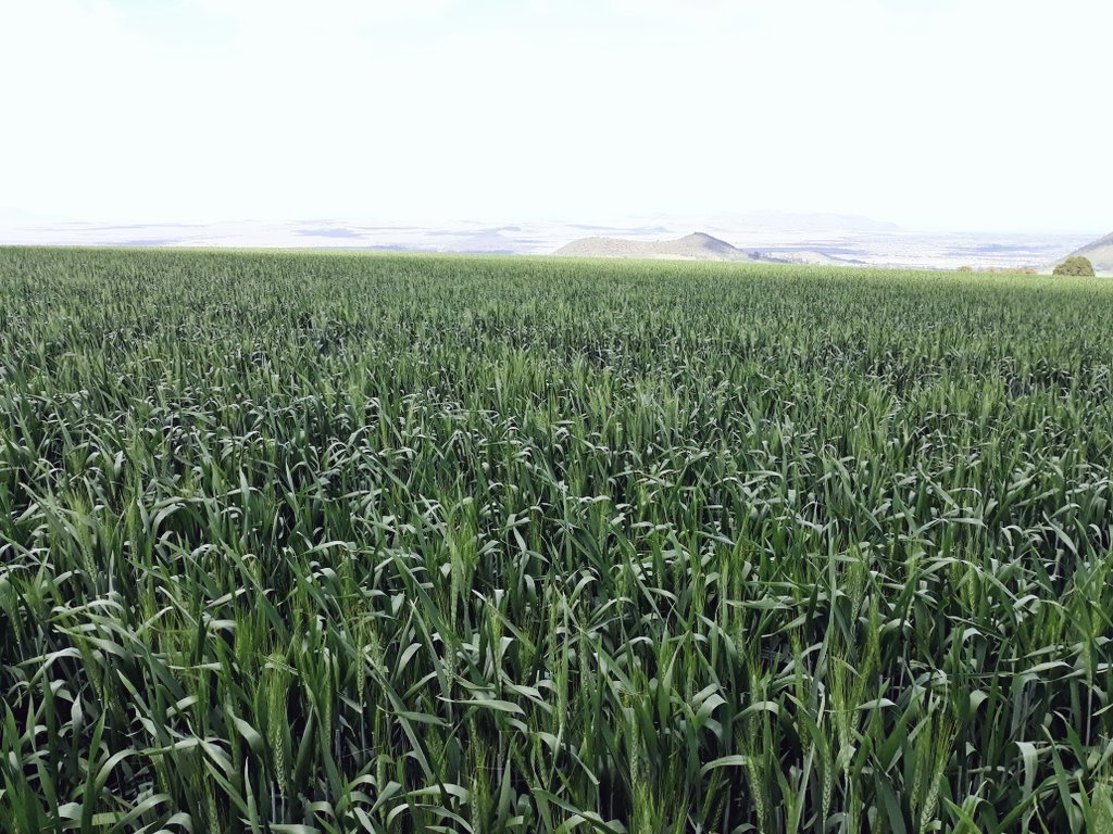 Eagle 10 wheat variety