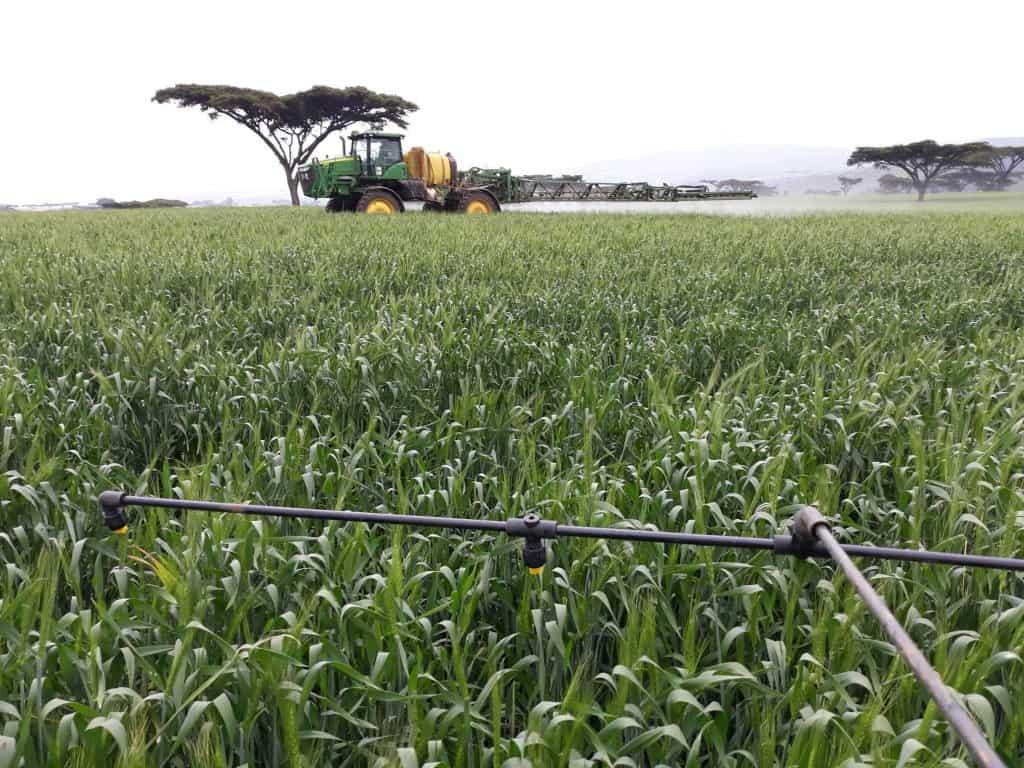 Hawk wheat variety