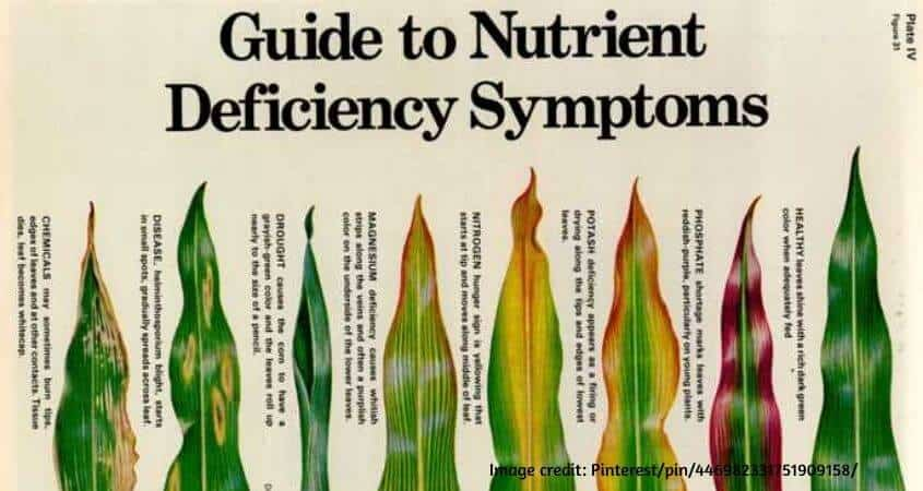 Nutrient Deficiency Guide For Crops (With Pictures)