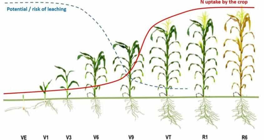 Top Dressing Fertilizer For Maize: Why Timing Is Key