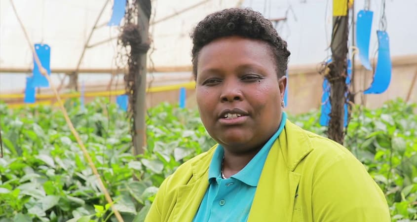 Greenhouse farming Successful capsicum tomato farmers in Kenya
