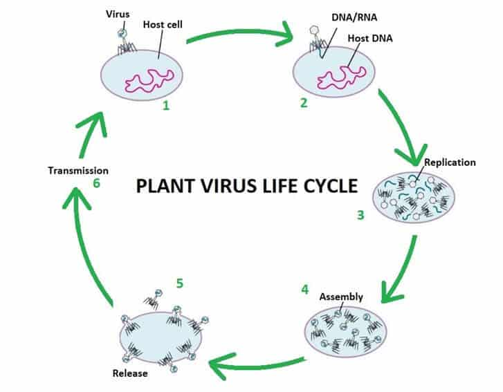 introduction to plant viruses