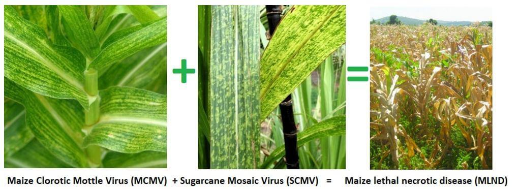 Plant viruses classification