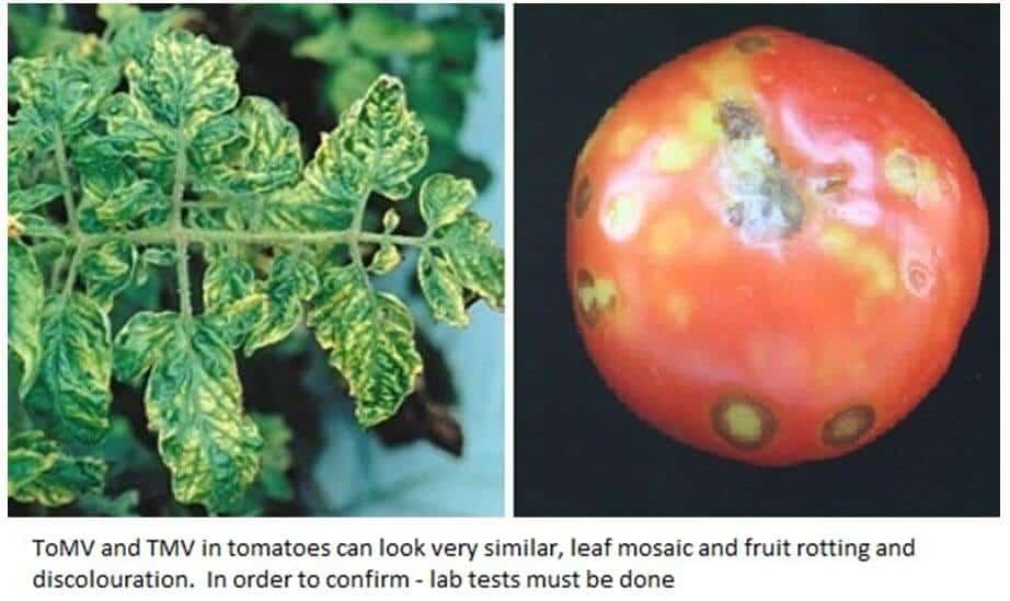 Tomato Mosaic Virus (ToMV)