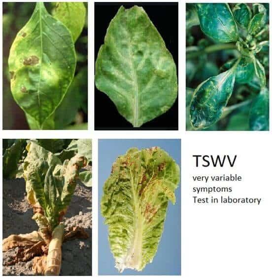 properties of plant viruses