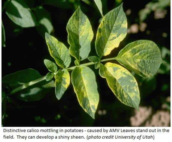 control of viral diseases in plants