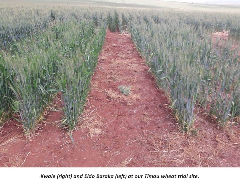 Kwale Eldo baraka wheat varieties