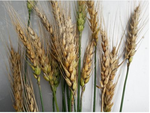 wheat varieties list