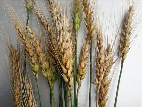 wheat varieties list