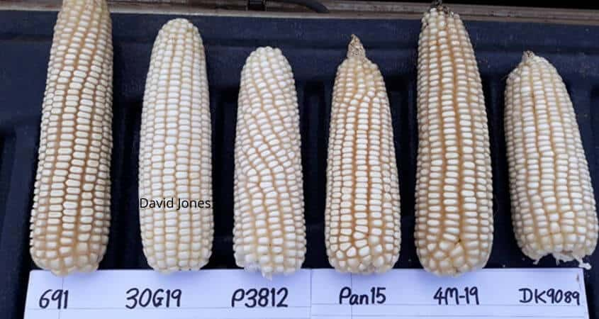 Highland Maize Varieties List