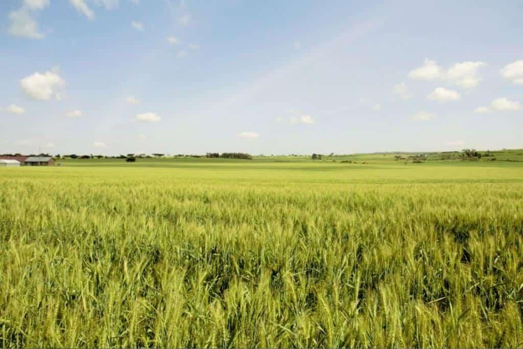 Wheat farming in timau narok laikipia kenya