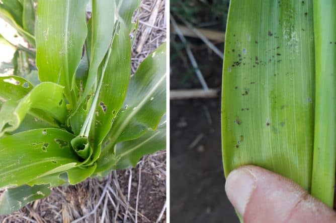 fall army worm (FAW) symptoms in maize