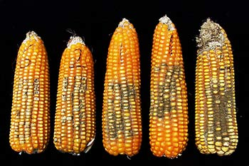 signs of aflatoxin in maize