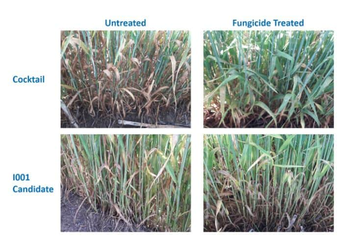 wheat barley fungicide trials