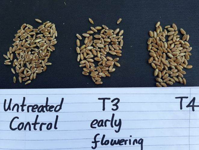 when to spray wheat for head scab
