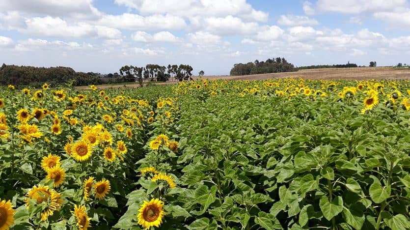 Get The Best From Sunflowers & Herbicides