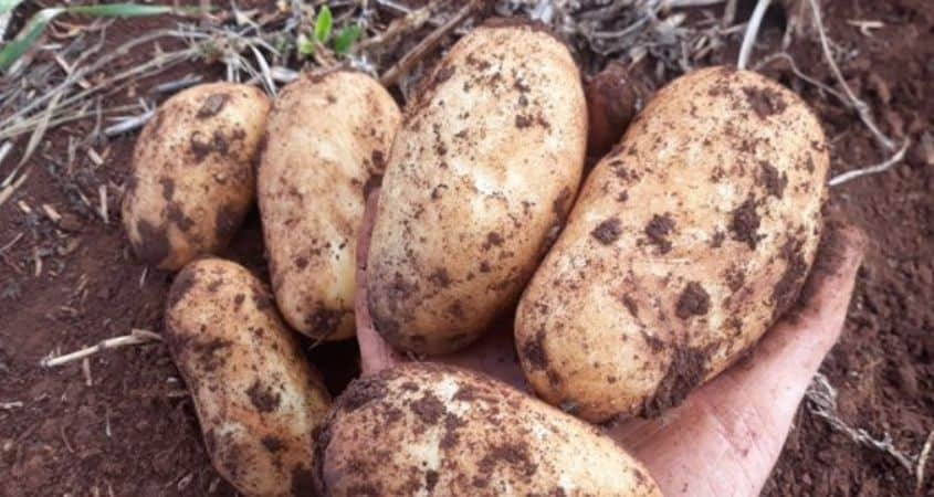 Clean Potato Seed Varieties